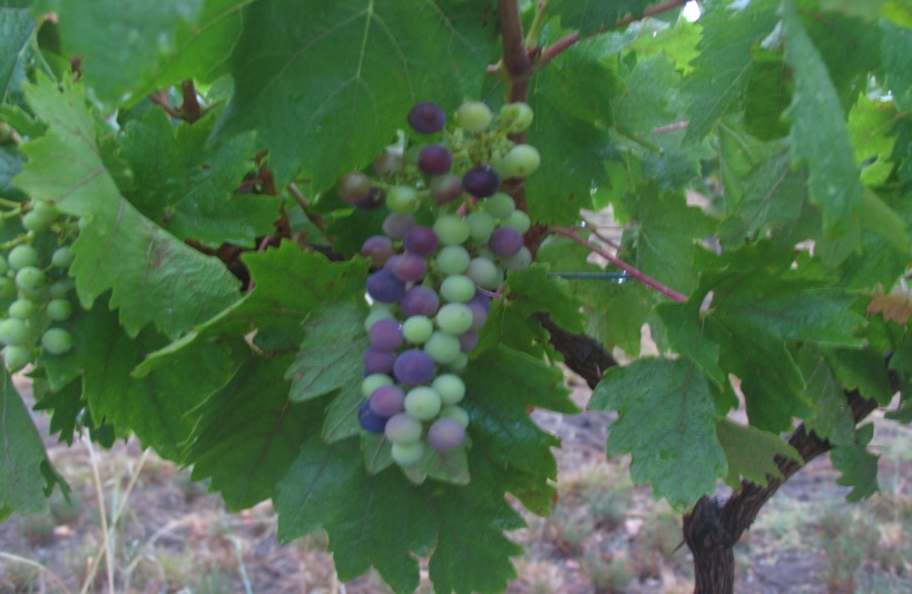 shiraz-grapes